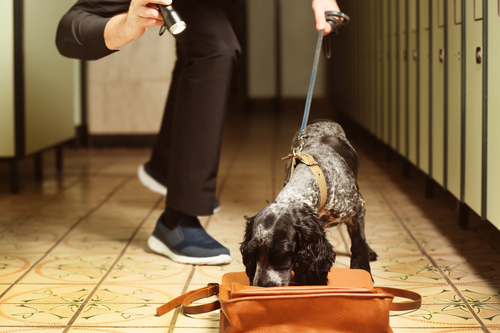 Sniffer dogs like this Spaniel help track down illicit cigarettes and loose tobacco in the UK