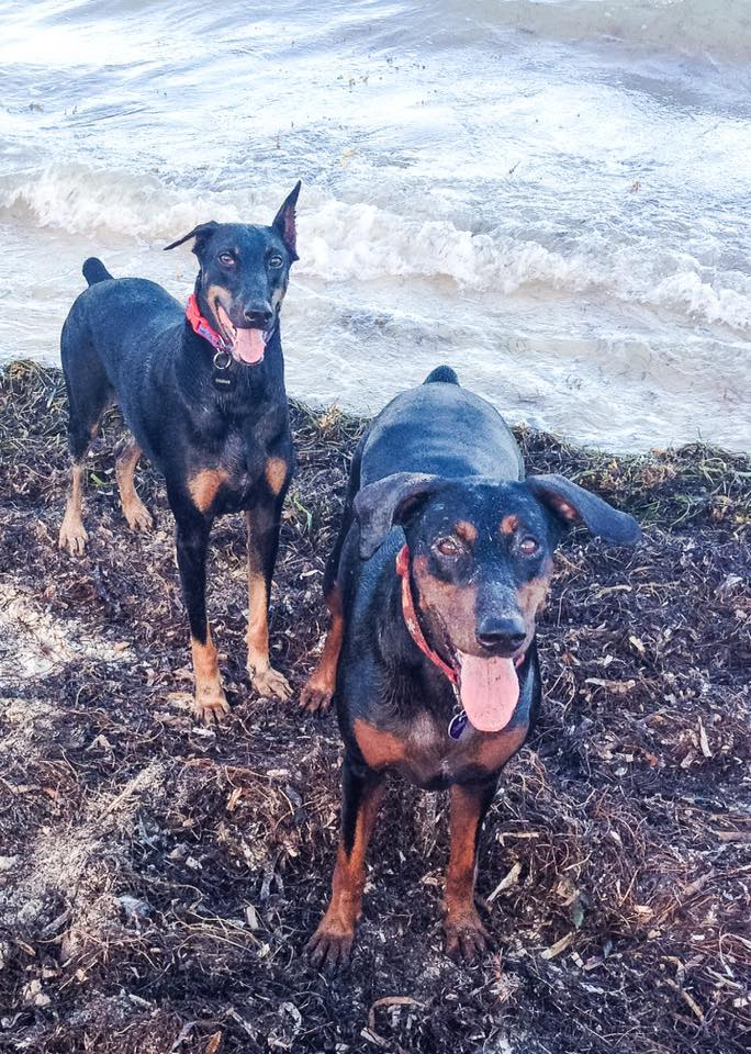 Chica the Mexican Doberman survivor provides support for her adopted sibling, Tasha, right