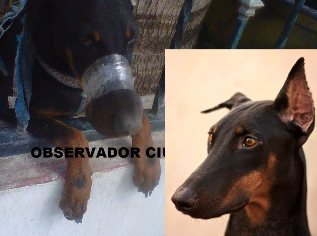"Chica the Mexican Doberman's abusers did this and were ""bribed"" to surrender her"