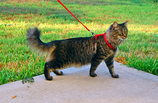 Walking cats provides enrichment which can be done safely by using a strap harness  Credit: Photo by K B
