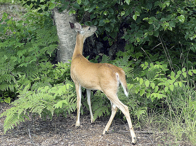 Deer are herbivores, seen here eating a plant. Photo by lwctoys