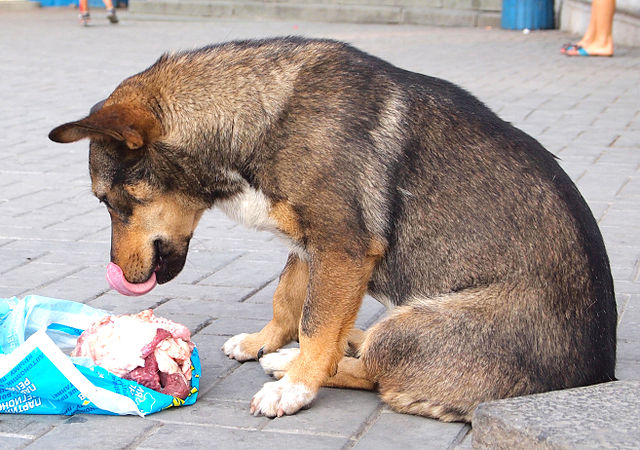 No kibble for this stray because dogs are carnivores and must eat meat. Photo by Tiia Monto