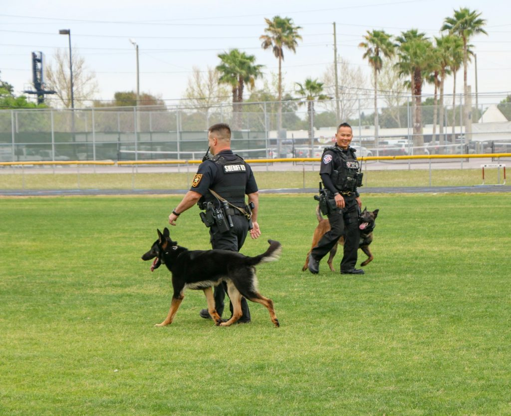 An impressive demonstration of discipline and obedience, working in pairs off leash